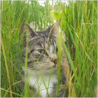 cat_in_the_grass